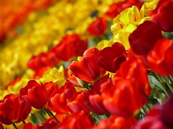 tulip-67410__340.jpg